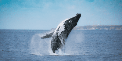 When to go whale watching in the Azores