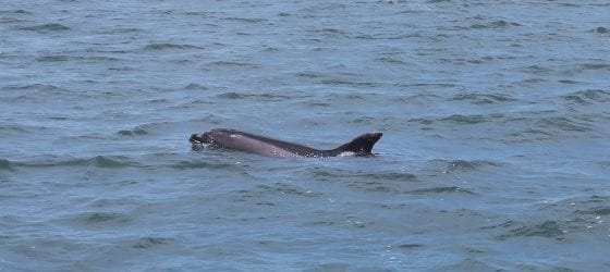 dolphin watching tour in Setúbal