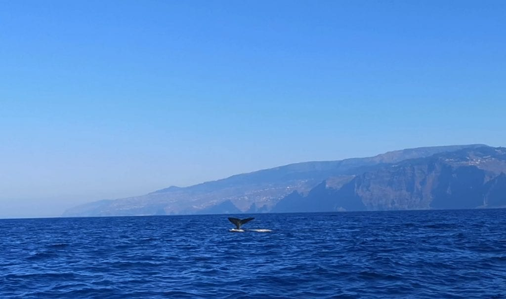 Whale watching is a very remarkable experience on Madeira
