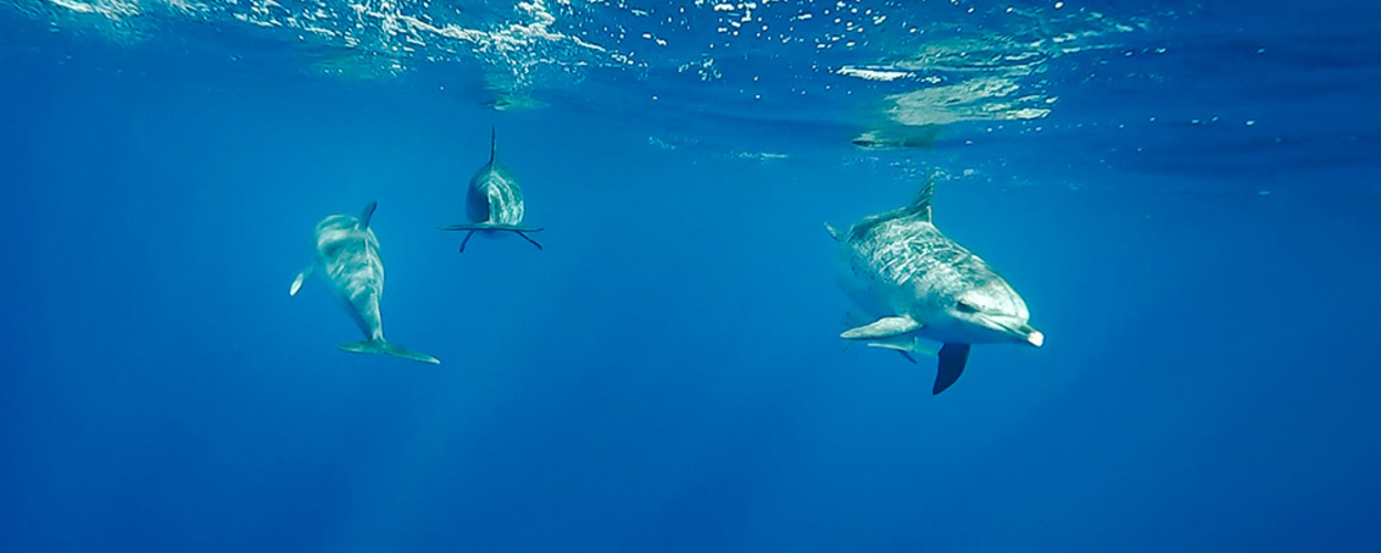 Swimming dolphins in Azores
