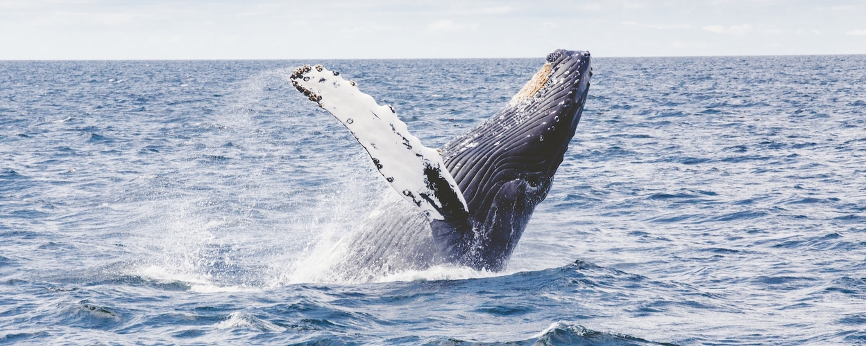 Whale watching in Boa Vista