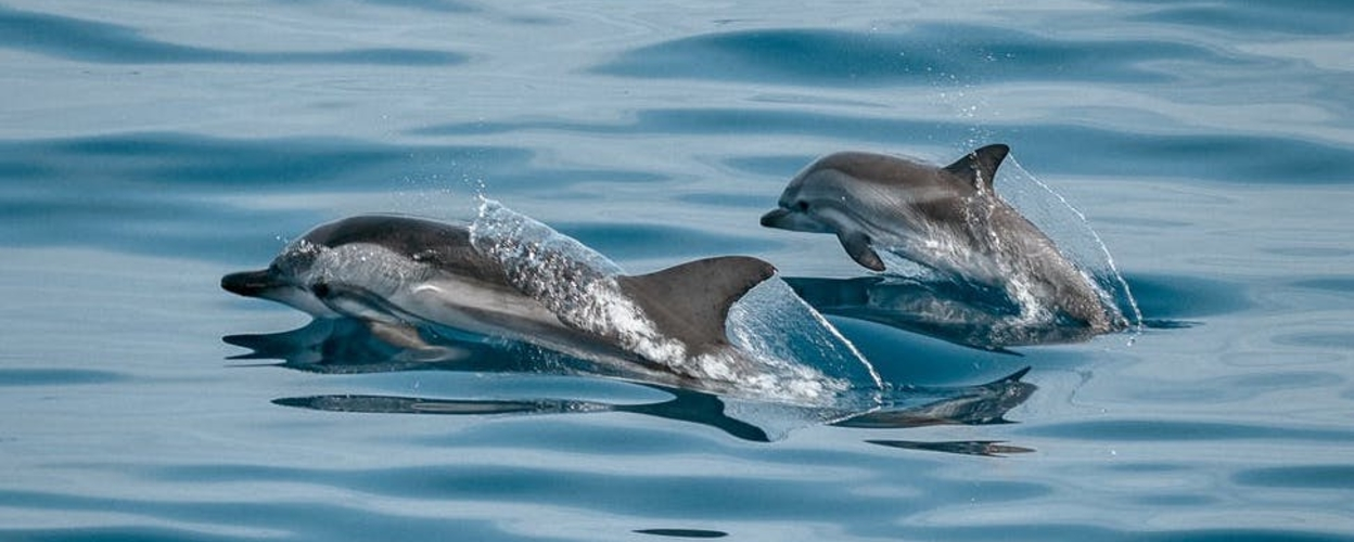 dolphin watching from Albufeira