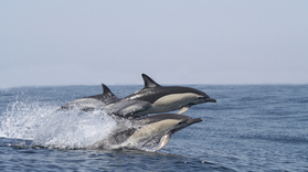 Visit Benagil and observe dolphins in Portimão