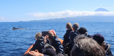 Whale watching from Horta Cover