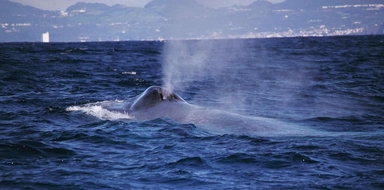 Whale watching in Azores and Lagoa do Fogo Volcano Boat tour