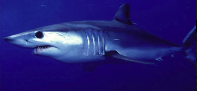 Are you ready to catch Blue Sharks and Mako Sharks?