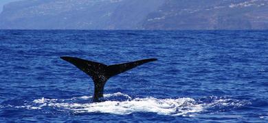 Walvissen in Madeira