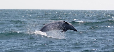 Dolphin watching tour in Sesimbra