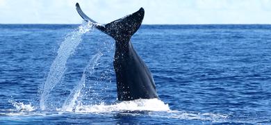 Whale São Miguel