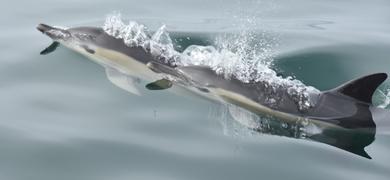 Nazaré Dolphins