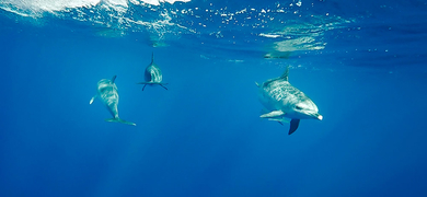 Swimming with dolphins from Terceira Island