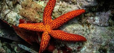 Star fish shore dives Santa Pola