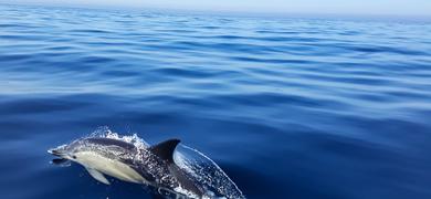 Sesimbra dolphins