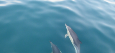 dolphins in front of sailing boat in Sesimbra