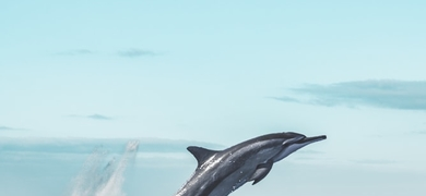 Admire wild dolphins in the Algarve