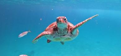 Turtles in Barbados