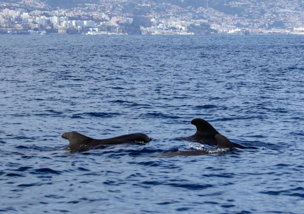 Around Madeira we can spot several species of whales and dolphins