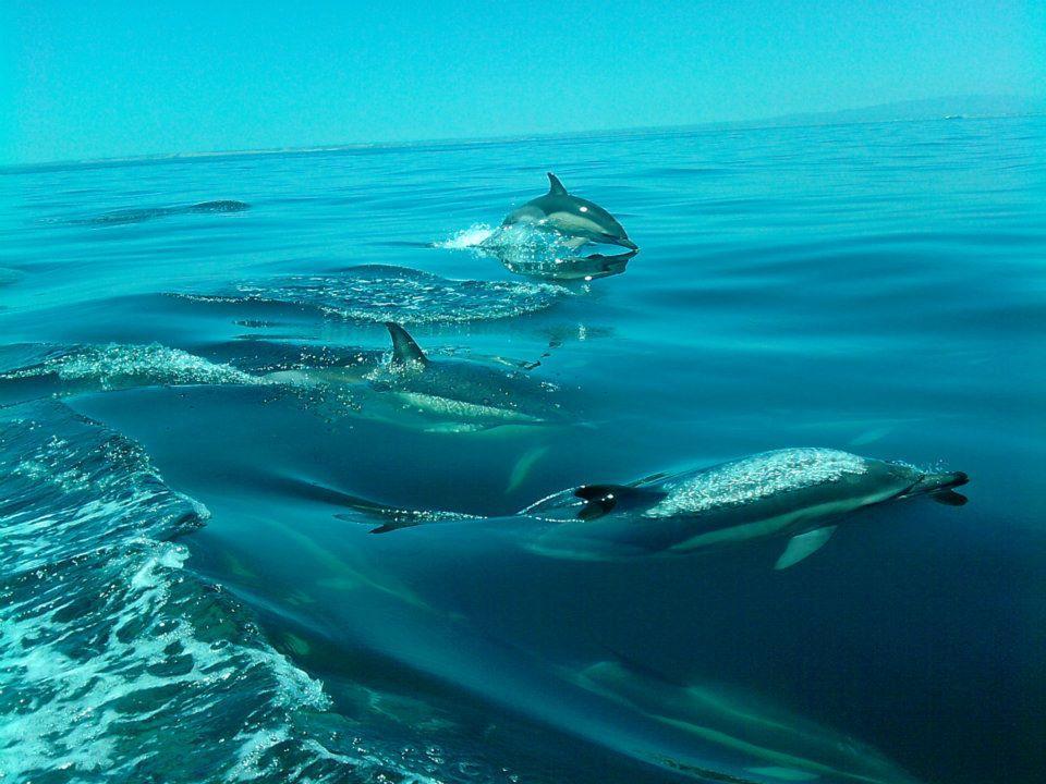 Dolphin watching - Boat Trips -Algarve - Sagres, Lagos, Portimão, Albufeira, Faro