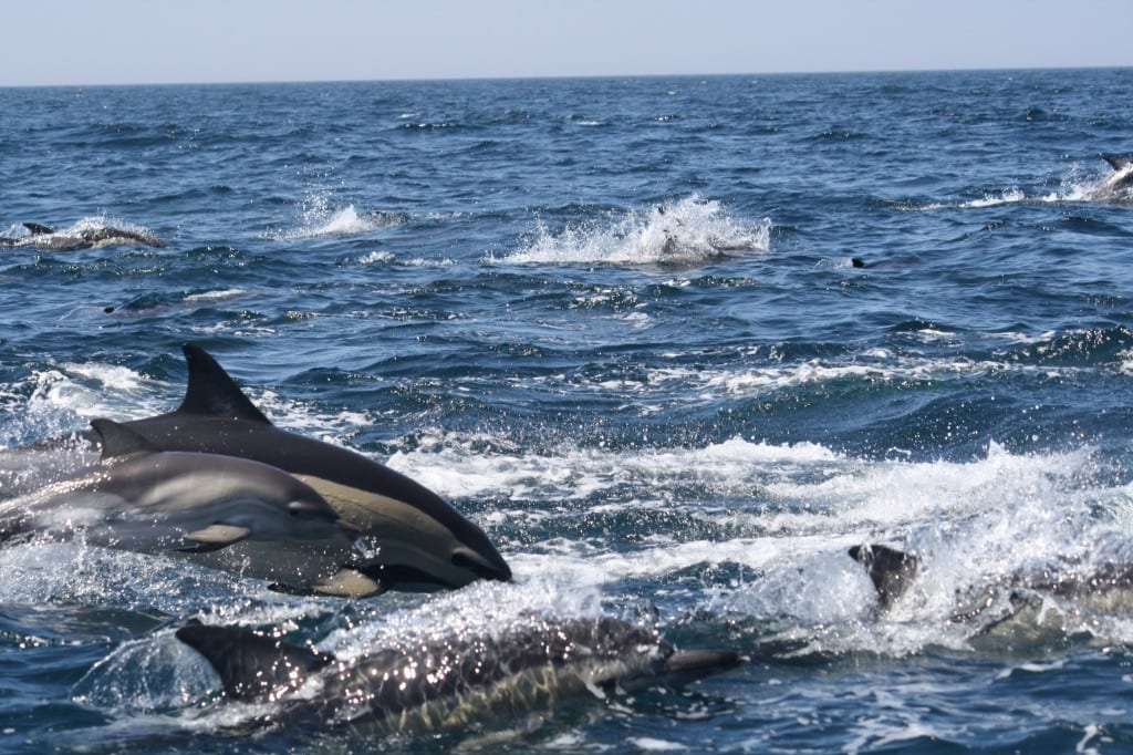 Dolphin watching from Sagres - boat trips Algarve