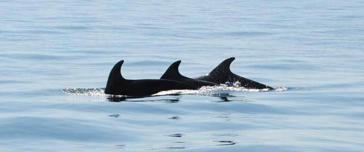 Dolphin watching in Portugal