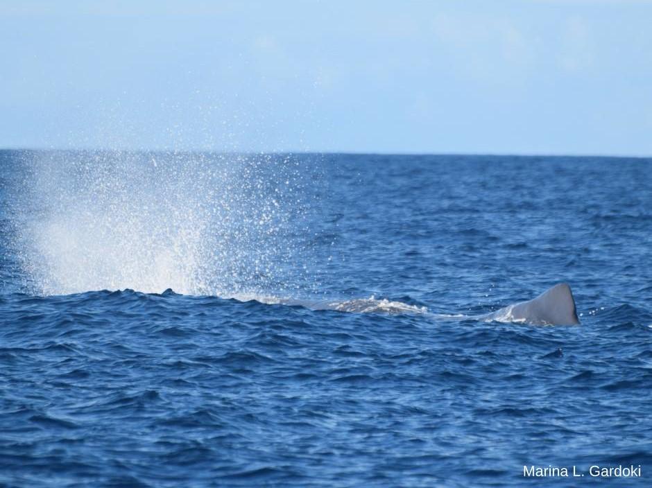 Whale watching São Miguel 2