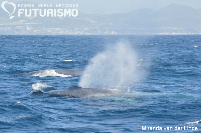 whale-watching-sao-miguel-azores