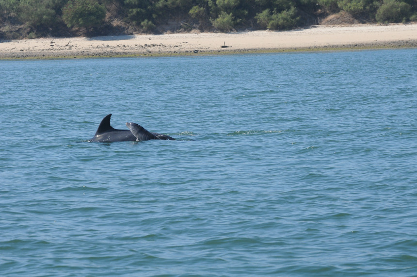 Dolphin Sado Aug16