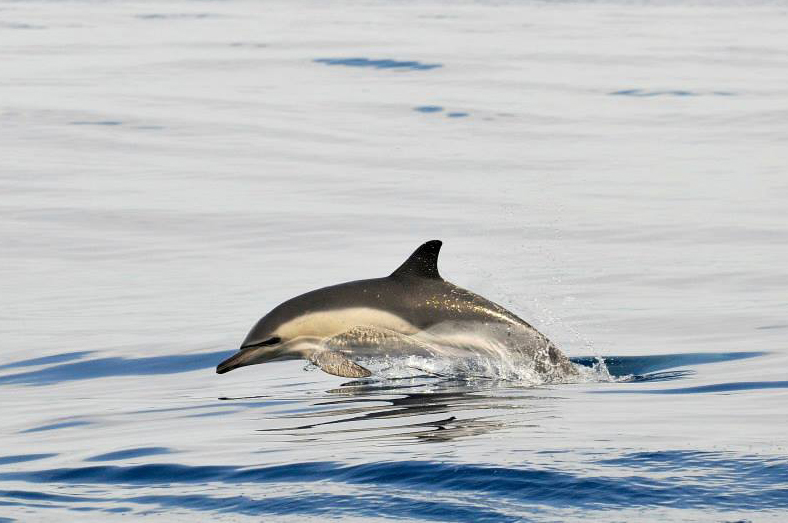Common dolphins are seen very frequently