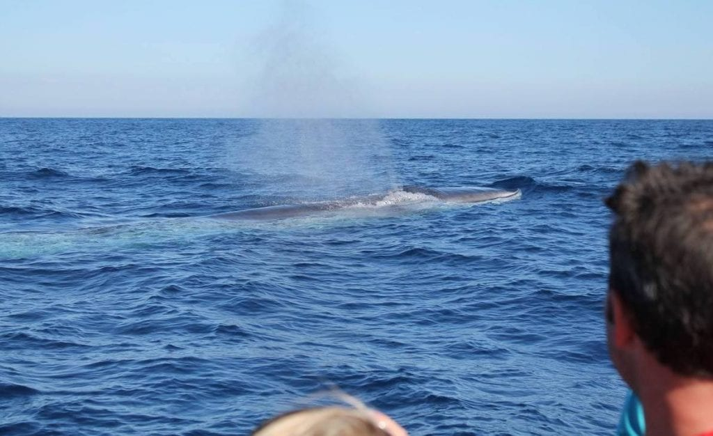 Spotting fin whales is a true experience