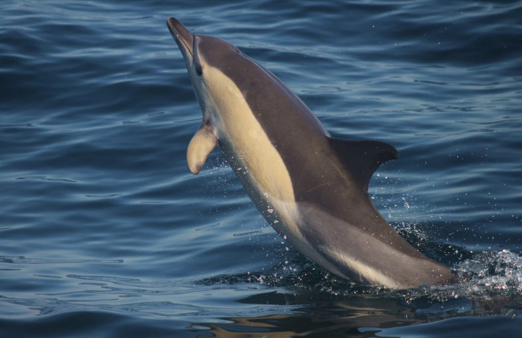 We found many many Common Dolphins