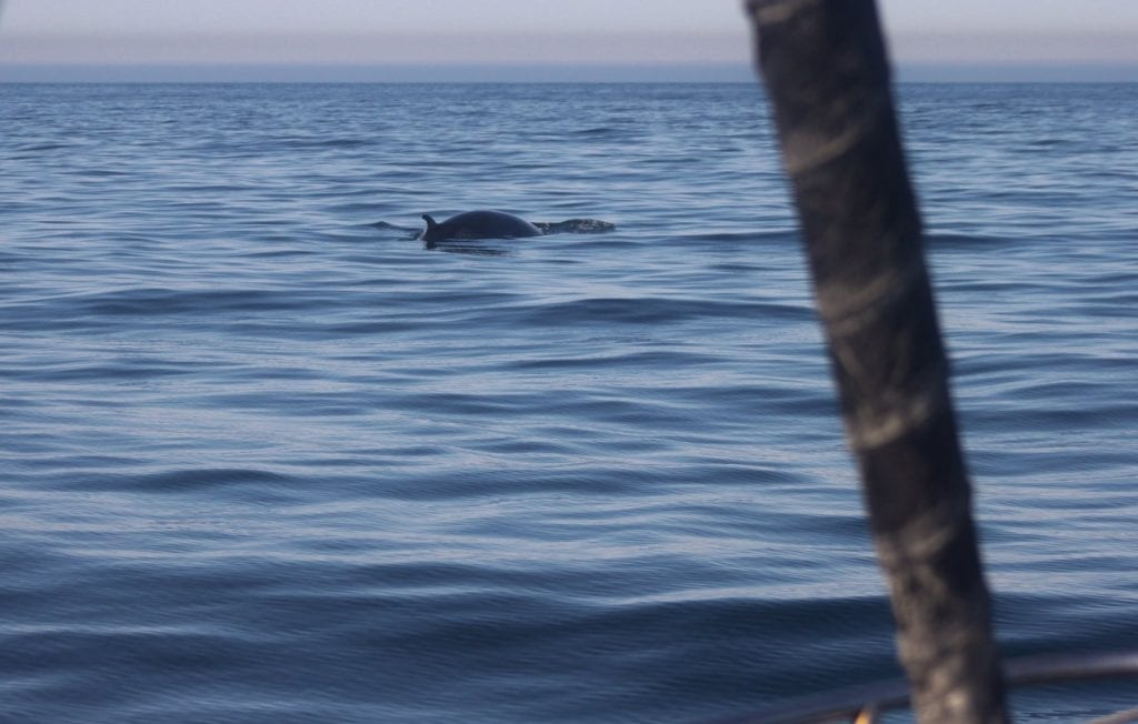 We saw this cute but giant Minke whale 4-5 times!