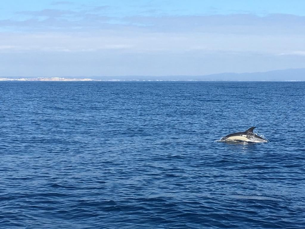 Seeing dolphins in the middle of the Atlantic is a unique experience